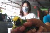 Ribuan ekor burung tanpa  dokumen disita tim gabungan BKSDA