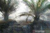 Ratusan hektare kebun karet dan sawit di Mesuji terbakar