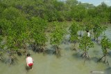 Bocah bermain air di kawasan  Ekowisata Mangrove Desa Lembung, Pamekasan, Jawa Timur, Sabtu (9/11/2019). Warga di daerah itu memanfaatkan destinasi wisata tersebut untuk mengisi libur Maulid. Antara Jatim/Saiful Bahri/zk.