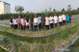 Petani  Transbangdep panen bawang merah