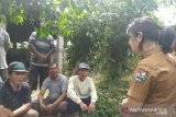 447 ternak babi mati  di Kabupaten Karo akibat Kolera
