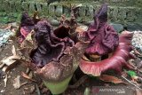 Bunga bangkai tumbuh di pekarangan warga Banyumas (VIDEO)