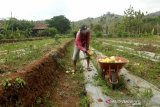 399 hektare tanaman padi di Gunung Kidul terancam puso