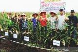 Pengusaha kembangkan jagung berskala besar di Kotim