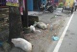 Bangkai babi dibuang di jalan, bau busuk merebak di Kota Medan