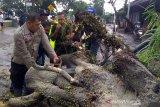 Purwokerto-Bandung macet akibat pohon tumbang (Video)