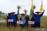 Realisasi serapan padi Bulog Riau nomer tiga terbesar nasional