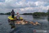 Bangkai babi dibuang ke sungai berpotensi picu penyakit infeksi