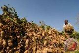 Kacang tanah masih menjadi komoditas pendukung di Parigi Moutong