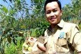 Petani di Rejang Lebong budidayakan tanaman apel