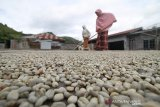 Jelang puncak panen, ekspor kopi Gayo turun