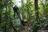 Belasan orangutan dilepasliarkan ke Taman Nasional Bukit Baka-Bukit Raya