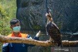 Seorang petugas berada di dalam kandang burung elang jawa (nisaetus bartelsi) di Pusat Konservasi Elang Kamojang, Kabupaten Garut, Jawa Barat, Selasa (19/11/2019). Saat ini, Pusat Konservasi Elang Kamojang menampung 136 ekor burung elang dari 12 jenis, berdasarkan hasil sitaan dari perdagangan elang dan kepemilikan pribadi di berbagai kota di indonesia. ANTARA JABAR/Raisan Al Farisi/agr
