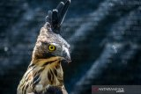Seekor burung elang jawa (nisaetus bartelsi) berada di dalam kandang di Pusat Konservasi Elang Kamojang, Kabupaten Garut, Jawa Barat, Selasa (19/11/2019). Saat ini, Pusat Konservasi Elang Kamojang menampung 136 ekor burung elang dari 12 jenis, berdasarkan hasil sitaan dari perdagangan elang dan kepemilikan pribadi di berbagai kota di indonesia. ANTARA JABAR/Raisan Al Farisi/agr