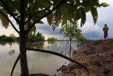 Salah satu tambak udang yang memiliki luas 8 hektare berada Muara Kecil Kecamatan Muara Jawa Kabupaten Kutai Kartanegara milik Endra, seorang nelayan setempat dibuat dengan konsep yang berwawasan lingkungan dengan menanam pohon Bakau dipinggir dan ditengah tambak, selain menghasilkan udang Endra juga mendapat bonus ikan dan kepiting yang tidak dipelihara secara khusus tapi bisa dipanen. (Foto ANTARA/Suryawan/AHM)