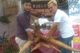 Singkong raksasa primadona pada pameran di Lebak