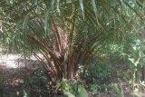 Harga tandan buah sawit di Mesuji Lampung naik
