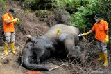 Forum Gajah: Pembunuh gajah di Riau dan Aceh masih satu kelompok, begini penjelasannya