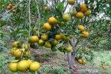 Distanak:  Lima kecamatan pusat pengembangan jeruk gerga