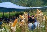 BPTP Sumbar perkenalkan konsep tumpang sari tanaman jagung dan padi