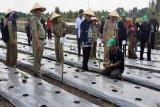 Bedengan antisipasi banjir dijadikan tempat menanam cabai rawit