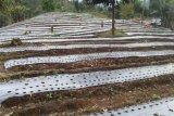 Petani bawang putih Temanggung berharap tak terjadi cuaca ekstrem