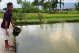 Pengurangan KJA di Danau Maninjau, pembibit ikan mengeluh