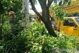 DLH Gowa lakukan pemangkasan antisipasi pohon tumbang di musim hujan