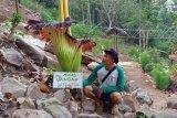 Bunga bangkai langka mekar di Air Terjun Tirai