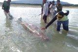 Warga Natuna selamatkan ikan duyung