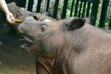 TN Way Kambas paling banyak simpan badak sumatera