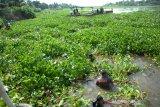 Bersihkan sungai dari eceng gondok