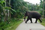 Gajah liar merusak puluhan rumah transmigran