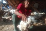 Ada ayam berkaki empat di Agam, warga berdatangan ingin melihat secara langsung