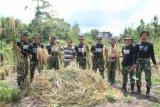 TNI bantu masyarakat panen padi di Distrik Mannem
