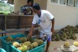 Pemkab Belitung kemas musim panen durian jadi paket wisata bagi pelancong