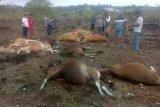 Belasan ekor sapi tewas akibat tersambar petir di Kupang