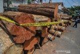 Barang bukti ratusan kayu gelondongan yang yang ditebang oleh pelaku pada gelar perkara kasus pembalakan liar di Mako Polres Ciamis, Jawa Barat, Jumat (6/12/2019). Polres Ciamis mengamankan satu tersangka ilegal loging dilahan milik Perhutani seluas 13 hektare dengan tujuan membuka lahan baru yang nantinya akan ditanami tanaman kapol dengan kerugian negara mencapai Rp1,2 miliar dan mengamankan ratusan kayu gelodongan. ANTARA JABAR/Adeng Bustomi/agr