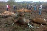Kerugian akibat sapi tewas tersambar petir mencapai puluhan juta