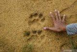 Berita harimau sumatera berkeliaran di Duri ternyata hoaks, begini penjelasannya