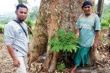 Unik, ratusan Bunga Bangkai tumbuh subur di kebun durian milik warga Agam