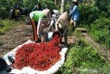 Petani pantai Kulon Progo hasilkan cabai 20 ton per hari