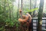 BBKSDA Sumut lepas liarkan seekor Orangutan di Sibual-buali