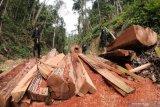Petugas Pengamanan dan Perlindungan Hutan (PPH) PT Alam Bukit Tigapuluh (ABT) saat menemukan tumpukan kayu log yang ditebang secara ilegal di kawasan penyangga Taman Nasional Bukit Tigapuluh, wilayah konsesi PT ABT di Tebo, Jambi, Minggu (8/12/2019). Taman nasional di Jambi yang menjadi rumah bagi sejumlah flora dan fauna dilindungi itu mendapat ancaman serius dari perburuan liar serta pembalakan ilegal. ANTARA FOTO/Wahdi Septiawan/pras.