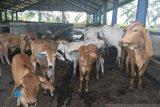 Kementan membantah sapi indukan bantuan pemerintah terkena malnutrisi