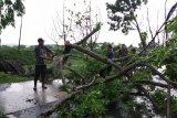 Kudus diterjang angin kencang, puluhan pohon tumbang