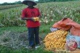 Produksi jagung di Bantul 2019 mencapai 17.118 ton
