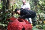 Empat Bunga Rafflesia Mekar  Bersamaan di Agam