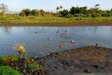Bocah berusia 8 tahun hanyut di Sungai Desa Perung Sumbawa, SAR terus lakukan pencarian
