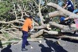 Angin kencang tumbangkan pohon di dua titik jalur Kelok 44 Agam